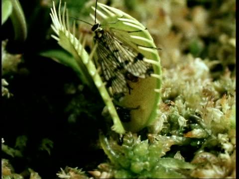 cu scorpion fly caught in venus flytrap, dionaea muscipula, united kingdom - insectivore stock videos & royalty-free footage