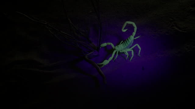 scorpion glows under uv light - claw stock videos & royalty-free footage
