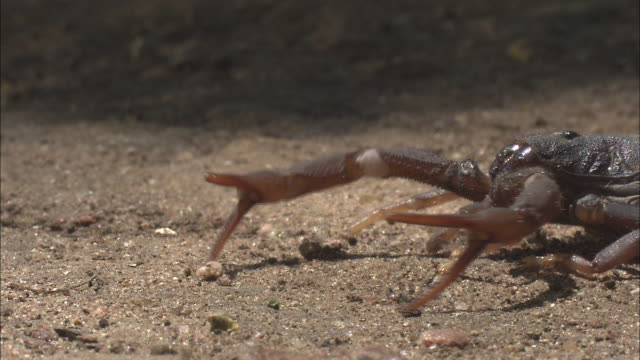 a scorpion holds its pincers out defensively. - claw stock videos & royalty-free footage