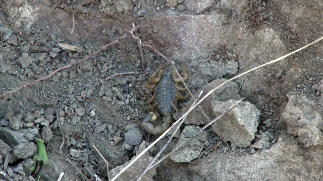 scorpion in the rocks - arachnophobia stock videos & royalty-free footage