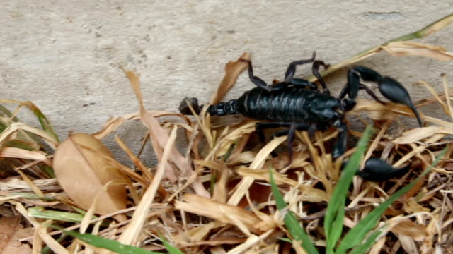 scorpion moving on grass floor - arachnophobia stock videos and b-roll footage