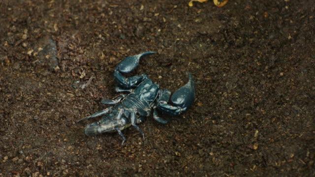 scorpion moving on ground. - stinging stock videos & royalty-free footage