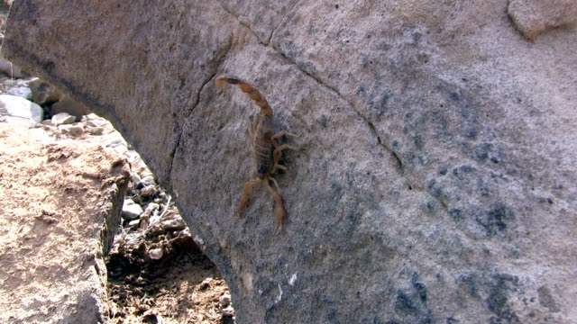 scorpion on the rock - plant bark stock videos & royalty-free footage