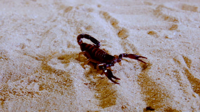 Scorpion preying