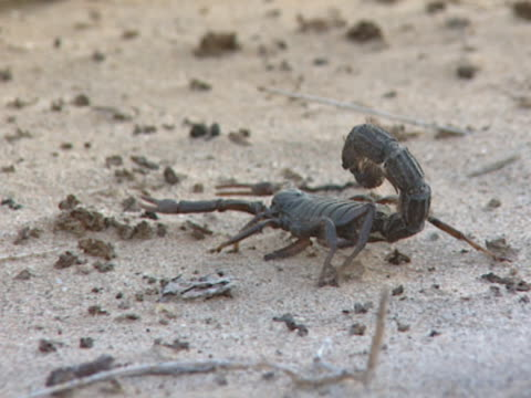 scorpion walking - scorpion stock videos & royalty-free footage