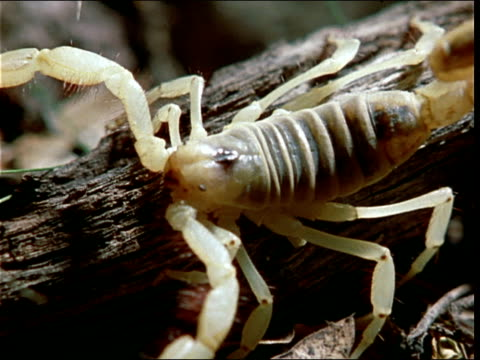 a scorpion with a white, translucent body moves along a branch. - partiell lichtdurchlässig stock-videos und b-roll-filmmaterial
