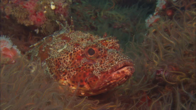 scorpionfish (scorpaenopsis sp.) amongst brittle star (ophiurida) arms, california, usa - pterois video stock e b–roll