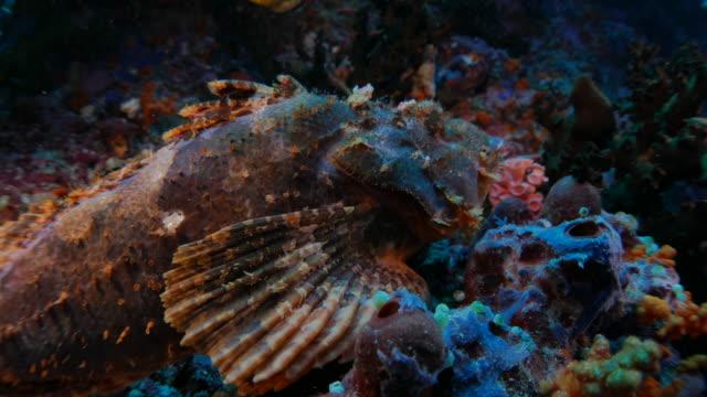 Drachenköpfe, close-up erschossen, versteckt, Korallenriff