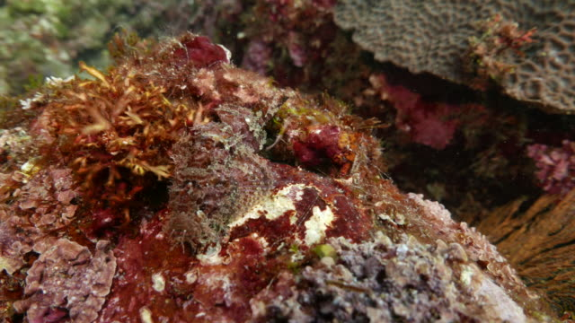 Scorpionfish hiding on the rock
