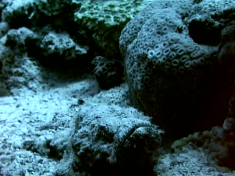 scorpionfish slowly moving up over coral reef edge, opening, closing mouth. back of scorpionfish spine . scorpionfish blending into surrounding reef.... - drachenkopf stock-videos und b-roll-filmmaterial