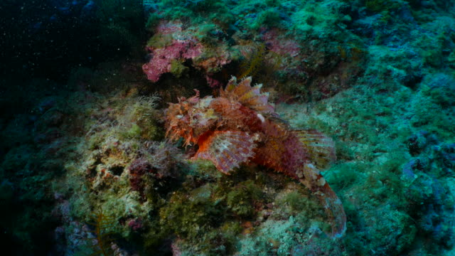 Scorpionfish, undersea reef, Taiwan
