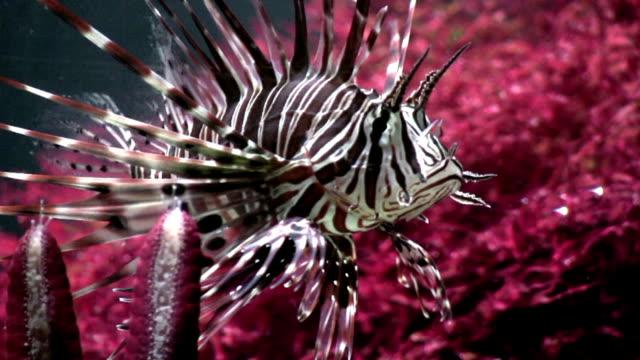 hd: scorpionfish - balloonfish stock videos and b-roll footage