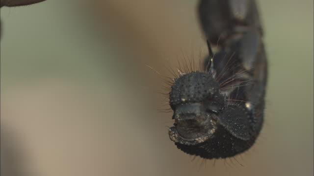 a scorpion's stinger hovers. - querschnitt stock-videos und b-roll-filmmaterial