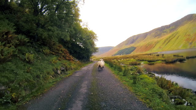 scotland driving sheep 2 - flock of sheep stock videos & royalty-free footage