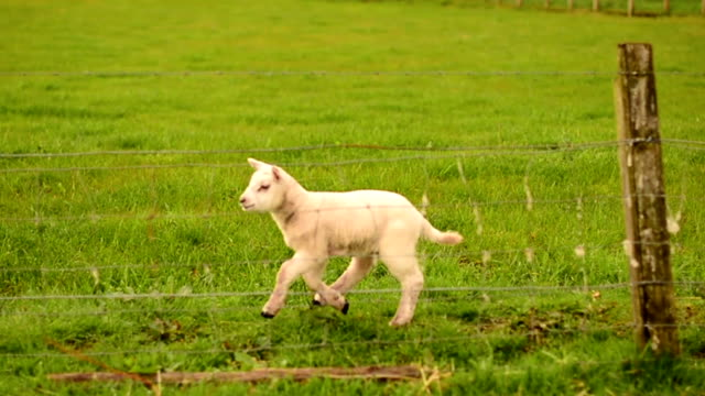 scotland lamb - lamb animal stock videos and b-roll footage