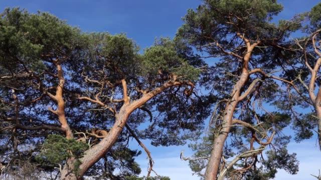 schottische kiefernbäume (pinus sylvestris) nationalbaum von schottland - kiefer stock-videos und b-roll-filmmaterial