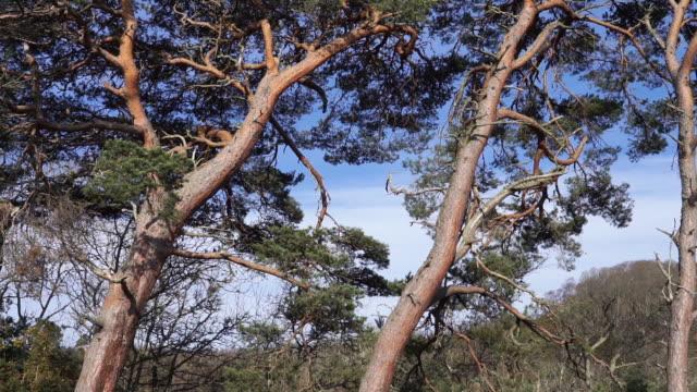scots pine trees (pinus sylvestris) national tree of scotland - ago parte della pianta video stock e b–roll