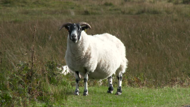 scottish black faced sheep in a remote rural setting - remote location stock videos and b-roll footage