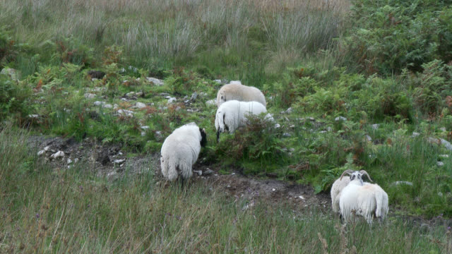 scottish black faced sheep in a remote rural setting - fern stock videos & royalty-free footage