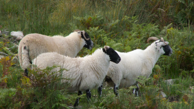 Scottish black faced sheep in a remote rural setting