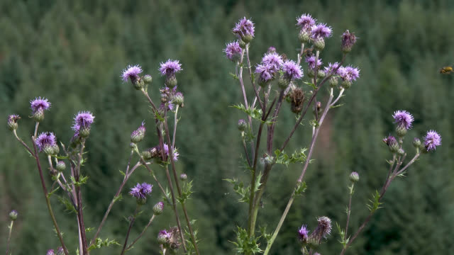 scottish countryside on a summer afternoon - thistle stock videos & royalty-free footage