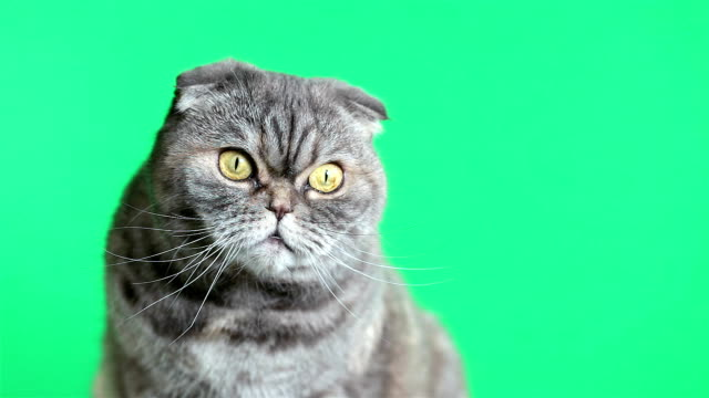 vídeos de stock e filmes b-roll de scottish fold cat. cat on a green background. - olho de animal