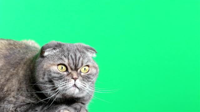 vidéos et rushes de chat écossais fold. chat sur un fond vert. - animal mouth