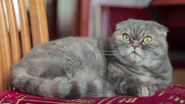 スコティッシュフォールド猫は椅子の上に横たわっています。 - ショートヘア種の猫点の映像素材/bロール