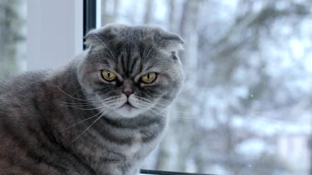 scottish fold cat looks out the window into the street. - staring stock videos & royalty-free footage