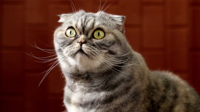 scottish fold ist, schaut in die kamera. - slapstick stock-videos und b-roll-filmmaterial