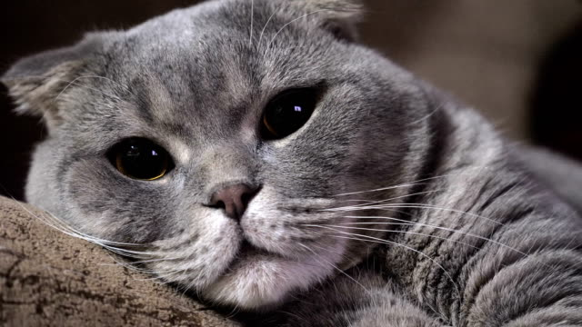 scottish fold - brochure stock videos and b-roll footage