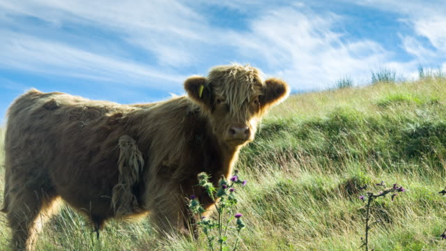 Scottish Highland Cow Standing By Thistles
