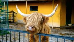 Scottish highland cow.