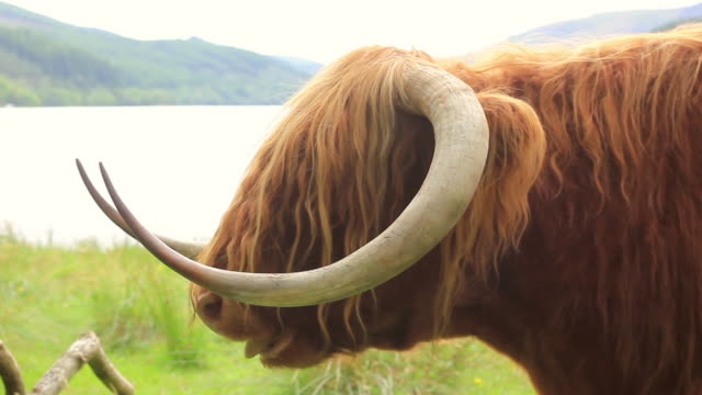 scottish long horn chewing - animal hair stock videos & royalty-free footage