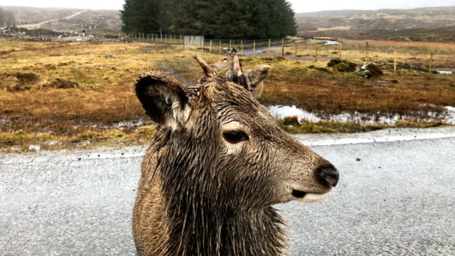 scottish red deer graze in glen etive on january 6 2018 in glen etive scotland the red deer is britain's largest land mammal and it is estimated... - doe stock videos & royalty-free footage