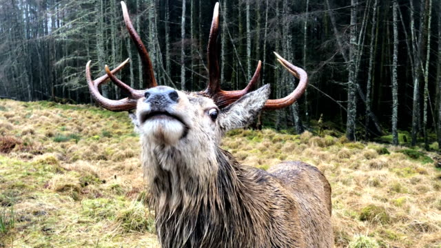 Scottish red deer graze in Glen Etive on January 6 2018 in Glen Etive Scotland The red deer is Britain's largest land mammal and it is estimated...