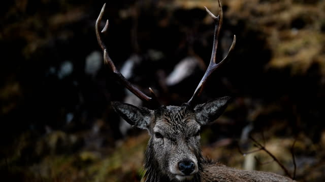scottish red deer graze in glen etive on january 6 2018 in glen etive scotland the red deer is britain's largest land mammal and it is estimated... - rothirsch stock-videos und b-roll-filmmaterial
