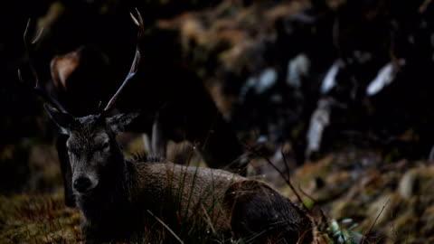 vídeos de stock, filmes e b-roll de scottish red deer graze in glen etive on january 6, 2018 in glen etive, scotland. the red deer is britain's largest land mammal, and it is estimated... - corça