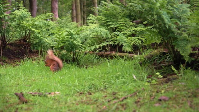 scottish red squirrel feeding in woodland - rodent stock videos & royalty-free footage