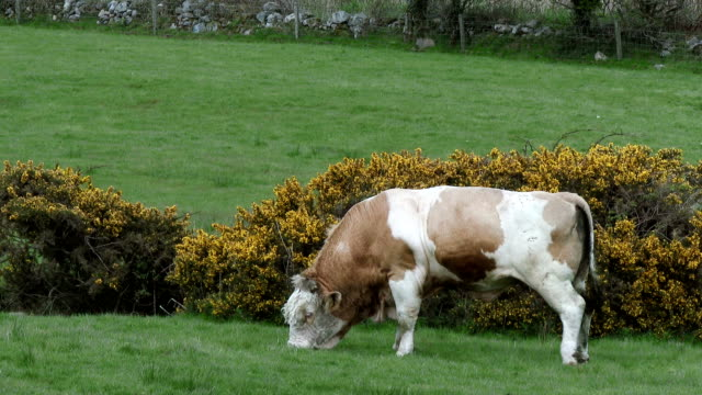 Scottish rural scene with a bull grazing in a field