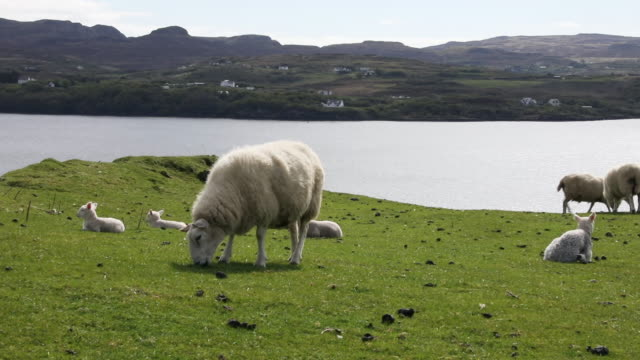 scottish rural scene with sheeps - sheep stock videos & royalty-free footage