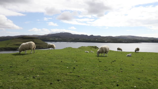 scottish rural scene with sheeps - grass family stock videos & royalty-free footage