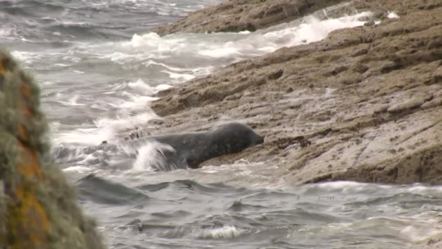 Scottish salmon farms that routinely shoot seals SCOTLAND Shetland Islands Various of seals on rocks by sea/ BLACK/ Grant Cumming interview SOT/ Pete...