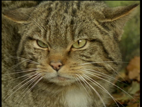 scottish wildcat angrily hisses at camera. - anger stock videos & royalty-free footage