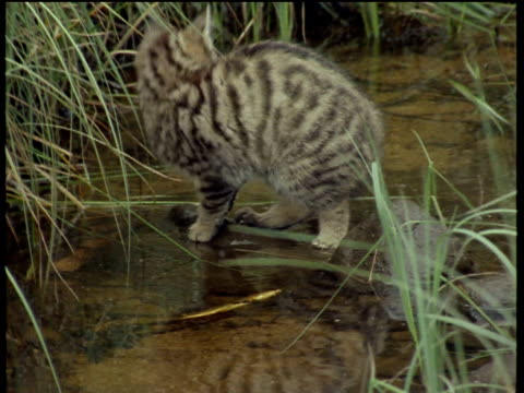 Scottish wildcat kitten walks on rocks in stream looking around curiously, then tries to fish with paw.