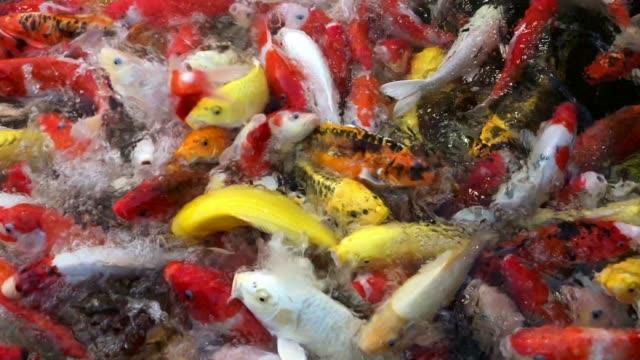 scramble koi carp, japanese big fish, underwater in garden. - koi carp stock videos & royalty-free footage