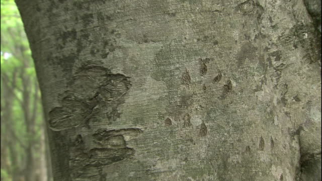 Scratches from a bear mark a beech tree in Mount Chokai in Japan.