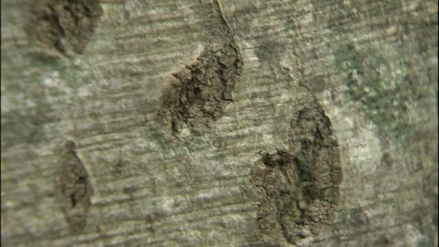scratches from a bear mark a beech tree in mount chokai in japan. - 鳥海山点の映像素材/bロール
