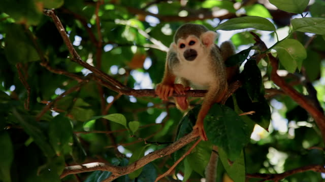 stockvideo's en b-roll-footage met scratching squirrel monkey - dierentuin