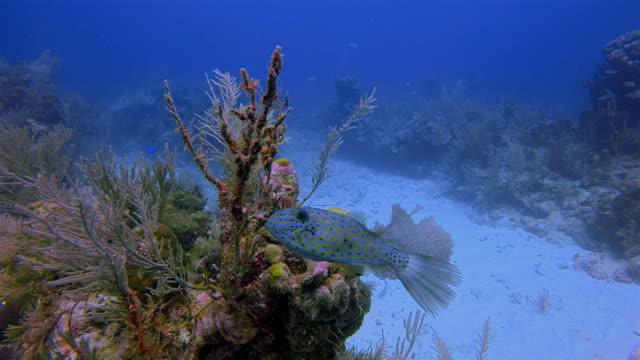 scrawled filefish / aluterus scriptus in caribbean sea near akumal bay - riviera maya / cozumel , quintana roo , mexico - mayan riviera stock videos & royalty-free footage